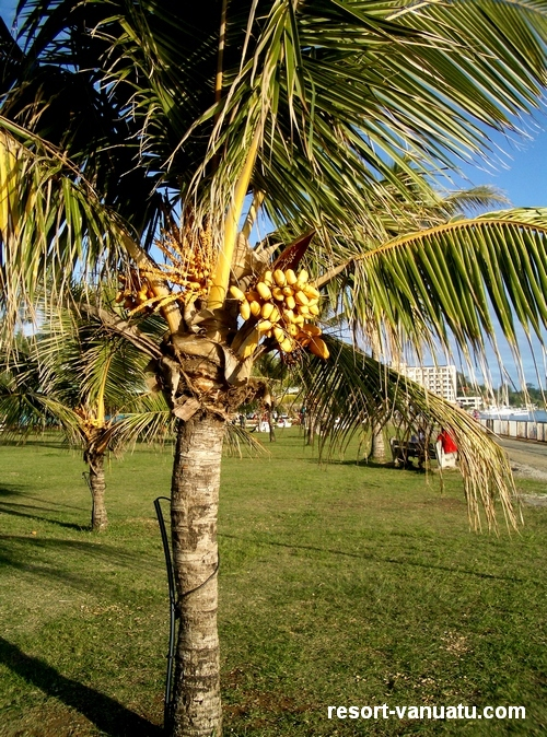 images/Port-Vila-banana-tree.jpg