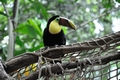 images/Toucan-birdwatching-120.jpg